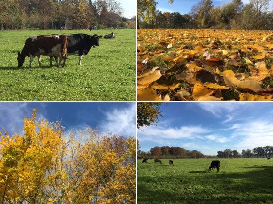 Koeien in de wei | wandelcoach.nl